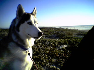 Toca, 80lb. Siberian Husky,  adopted from the pound at 18 mo.'s old,  Sept 2001. He's the bratty little brother. But big. Likes to cuddle.